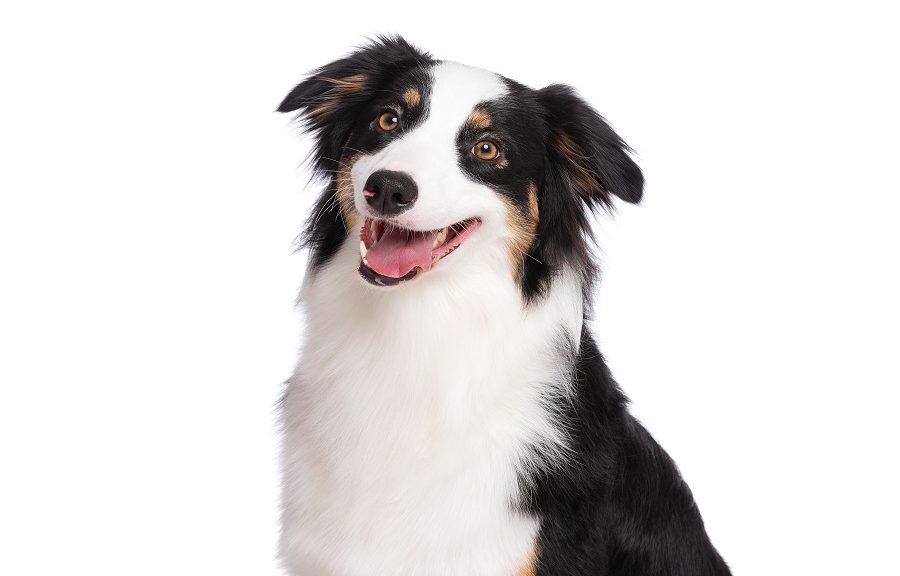 chien berger australien santé